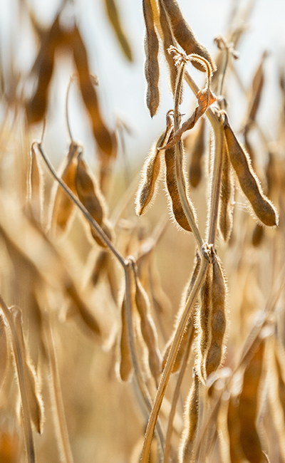 Ripe soybeans ready for harvesting on a farmer's field. Agriculture production concept